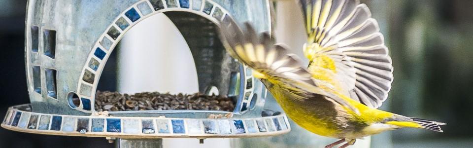 Vogelhaus – Grünfinken vor dem Laden in Binz